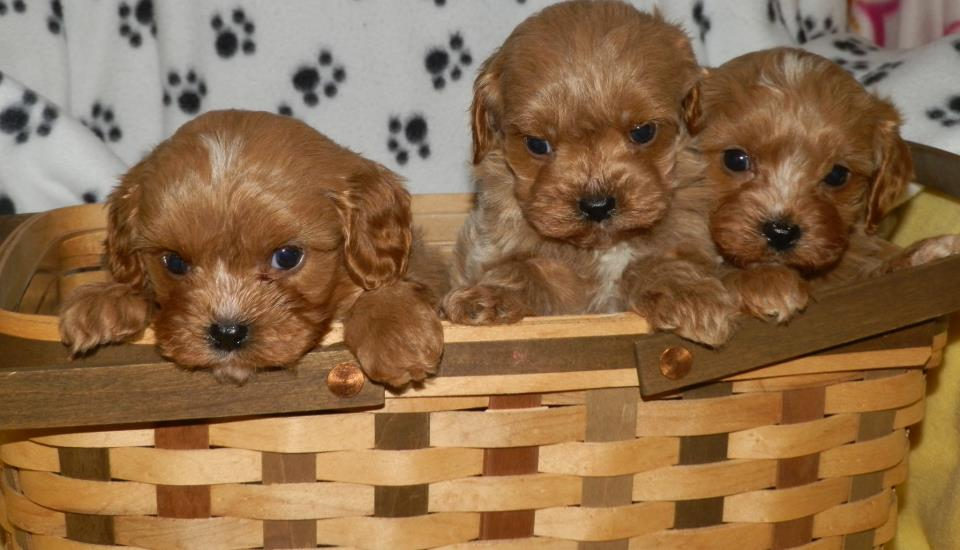 cavapoo boys 4 weeks