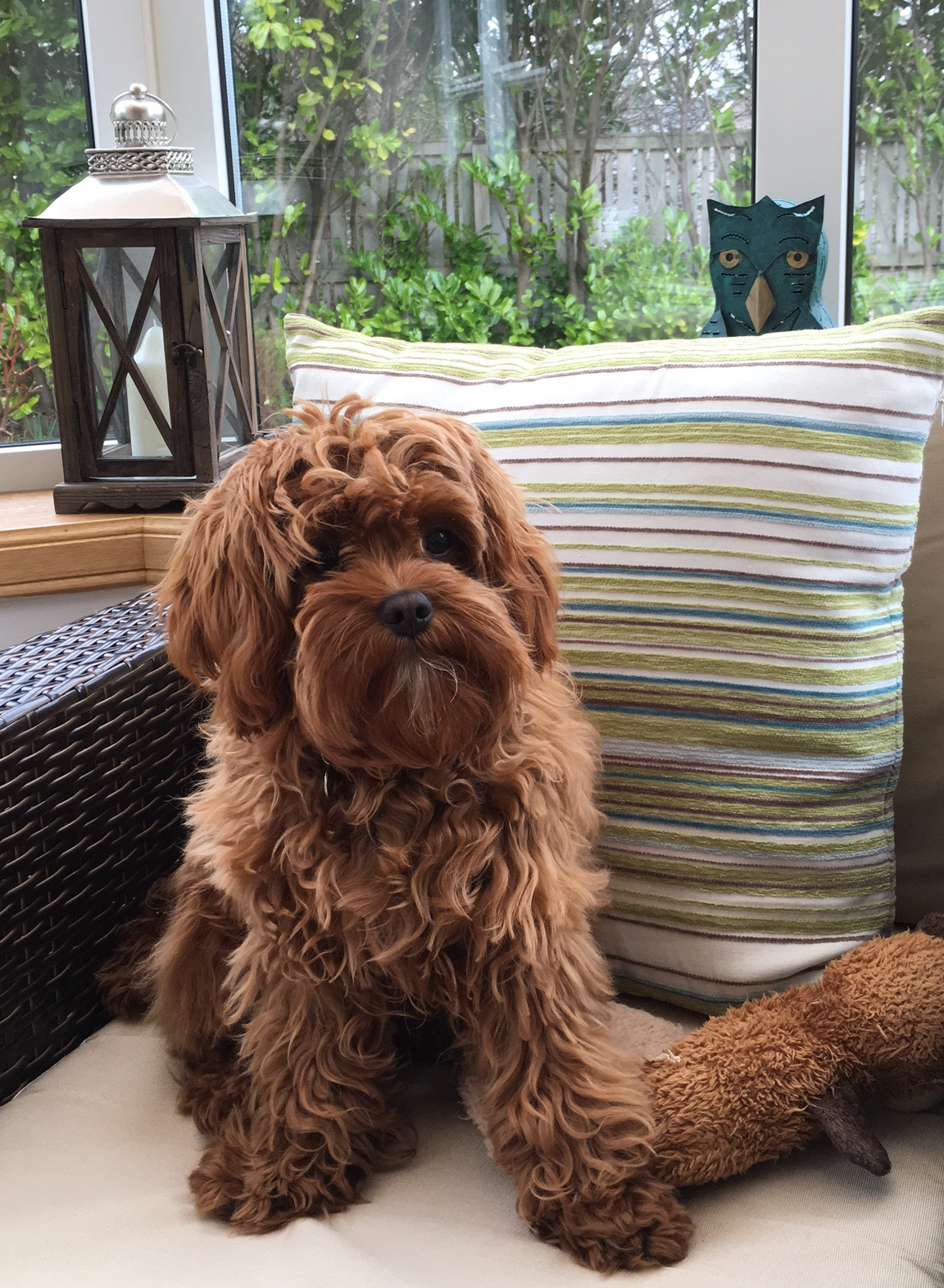 Flossie, Fox Red Cavapoo owned by the Bertram's - Glendream